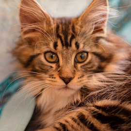 by Vicki Johnson - Animals - Cats Kittens (  )