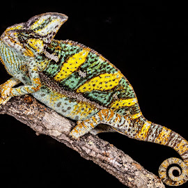 Chameleon by Garry Chisholm - Animals Reptiles ( lizard, nature, reptile, chameleon )