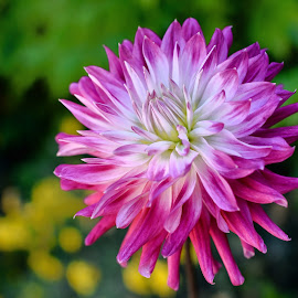 Garden Dahlia by Jim Downey - Flowers Single Flower ( magenta, green, white, dahlia, yellow )