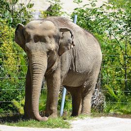 The elephant by Dee Schindler VanBilliard - Animals Other ( zoo, elephant, big, gray )