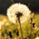 dandelion live wallpaper Icon
