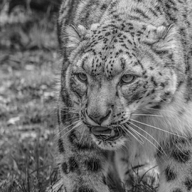 Leopard by Garry Chisholm - Black & White Animals ( nature, mammal, snow leopard, big cat, garry chisholm )
