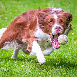 my ball.............. by 'Monique Smit - Animals - Dogs Playing ( natural light, playful, joy, cute, run, running, natural background, playing, nature, happy, action, mamal, animal, moving, animalia, adult, portrait, canine, joyful, animal kingdom, pet, zoology, dog, companion dog, natural, #GARYFONGPETS, #SHOWUSYOURPETS,  )