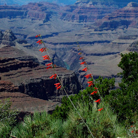 The Grand Canyon by John Pobursky - Landscapes Travel ( firecracker_penstemon, grand_canyon, arizona, colorado_river, flowers )