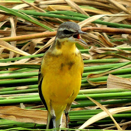 Yellow Wagtail by Malay Maity - Novices Only Wildlife ( looking, bird, sitting, animal,  )