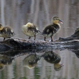 3 Stooges by Joe Chowaniec - Animals Birds ( ducklings, nature, ducks, birds )
