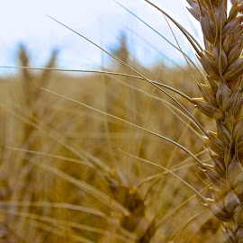 Wheat by Mustafa Sayed - Nature Up Close Gardens & Produce