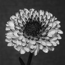 Micro dalhia by Gérard CHATENET - Black & White Flowers & Plants
