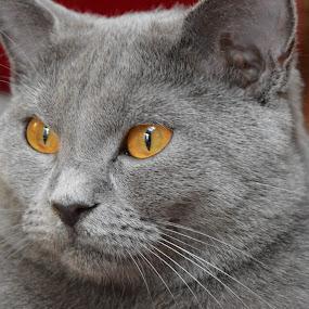 Joconde de Ventadour by Isabelle Ebens - Animals - Cats Portraits ( cat, chartreux, portrait,  )