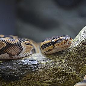 Python regius /  ball python by Scott Staley - Animals Reptiles ( snake, wildlife, python regius, reptile, animal, #GARYFONGPETS, #SHOWUSYOURPETS,  )