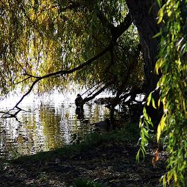 Regent's Park by Serguei Ouklonski - City,  Street & Park  City Parks ( bird, water, uk, london, tree, park, oak, regent's park, pond )