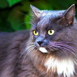 Not Happy  by Sabrina Causey - Animals - Cats Portraits ( cat, green, longhair, fur, grey, eyes )