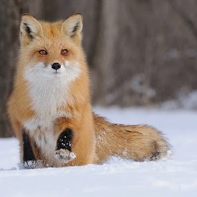 Red Fox by Rolland Gelly - Animals Other Mammals