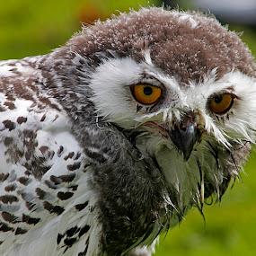 It's a hoot by Wilson Beckett - Animals Birds (  )