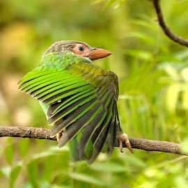 Brown Headed Barbet by Prerna Jain - Animals Birds ( animals, nature, brown headed barbet, birds,  )