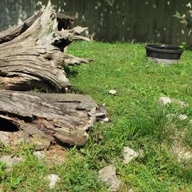 Hide And Seek by Dan Blair - Novices Only Wildlife ( tree, hiding, palyful, tree stump, raccoon, mammal, animal )
