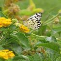 Pioneer Butterfly