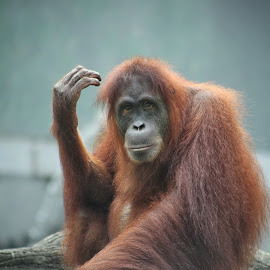Orang Utan by Vanes Art - Animals Other Mammals ( potrait, animals, vanes, indonesia, orangutan, photography, animal )