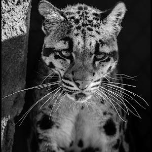 Clouded Leopard-12.jpg