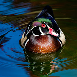 Wood Duck by Dave Lipchen - Animals Birds ( wood duck )