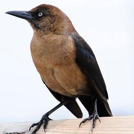 Bird by Prentiss Findlay - Animals Birds ( bird, bird at pier, brown bird, pier bird, bird perching )