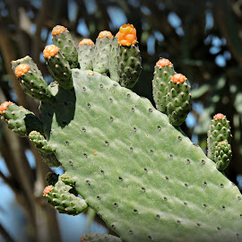 Opuntia Cactus by Tamsin Carlisle - Nature Up Close Other plants ( pad, buds, garden, opuntia, cactus,  )