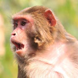 monkey by SANGEETA MENA  - Animals Other
