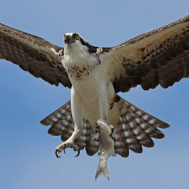 Gotcha! by Anthony Goldman - Animals Birds ( bird, flight, predator, nature, fish, tampa, catch, wildlife, osprey,  )