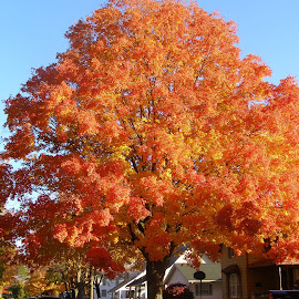 Falling by Debra Griffin - City,  Street & Park  Neighborhoods ( tree, autumn, colorful, neighborhood, leaves )