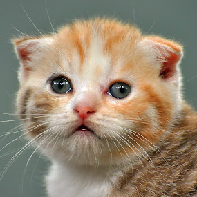 Baby Face by Cacang Effendi - Animals - Cats Kittens ( cats, cattery, kitten, chandra, kitty )