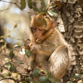 Baby monkey eating by Natalia Dobrescu - Animals Other Mammals ( discover, africa, monkey, explore, baby monkey, nature, tree, canon70d, eating, canon, adventure, national park, mammal, closeup, animal, morocco, travel, park, photography, maroc )