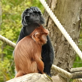 Real monkey love by Bob Has - Animals Other ( love, zoo, tenderness, cute, monkey,  )