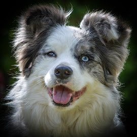 One blue eye by Kathryn Potempski - Animals - Dogs Portraits ( collie, working dog, pet, australian cattle dog, fur, dog portrait, blue border collie, dog, portrait, animal, aussie )