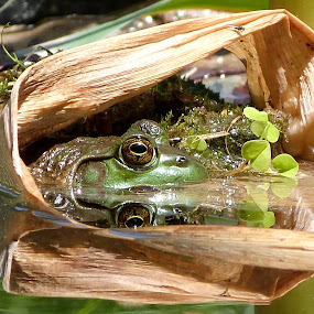 Froggy Reflections by Carol Milne - Animals Amphibians