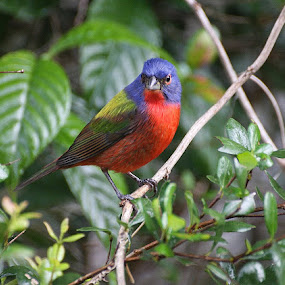 Male Painted Bunting  by Clare Suhanich - Animals Birds ( bird, nature, color, beautiful, male,  )