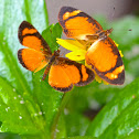 Black-bordered Crescent