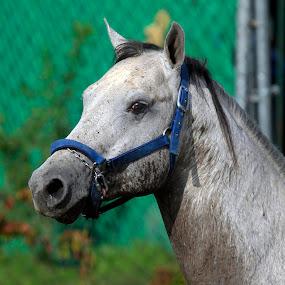 Arabain by Cristobal Garciaferro Rubio - Animals Horses ( arabian horse, horse, white horse )