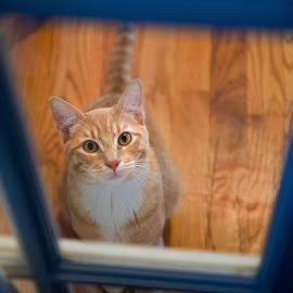 May I Come In? by Elliot Mednick - Animals - Cats Portraits ( orange, kitten, cat, door, animal )