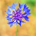 Squarrose Knapweed; Azulejos
