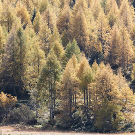 Zizers - Malans, Graubünden, Switzerland by Serguei Ouklonski - Landscapes Forests ( pine tree, graubünden, scenic, high angle view, coniferous tree, pine woodland, mountain, fall, land, wood, day, no person, nature, tranquil scene, switzerland, change, tree, beauty in nature, sunlight, outdoors, plant, green color, growth, tranquility, autumn, travel, scenics - nature, no people, non-urban scene, landscape, nature landscape )