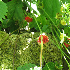 Wild Strawberries by Angie Keverne - Novices Only Flowers & Plants ( wild, fruit, red, strawberries, garden )