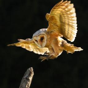 by Lukáš Lang - Animals Birds ( , bird, fly, flight )