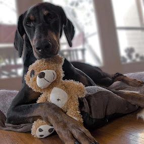 Me and My Teddy by Petra Bensted - Animals - Dogs Portraits ( teddy bear, pet, cute, dog, doberman )