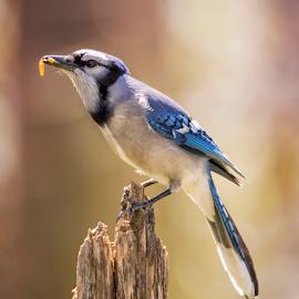 Blue Jay Brunch by Bill Tiepelman - Animals Birds ( bird, tree, backyard bird, bird-watching, branch, blue jay,  )
