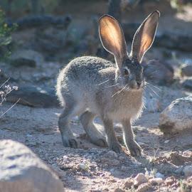 Baby Jack Rabbit by Charlie Alolkoy - Animals Other Mammals ( rabbit, jack, arizona, tucson, jack rabbit )