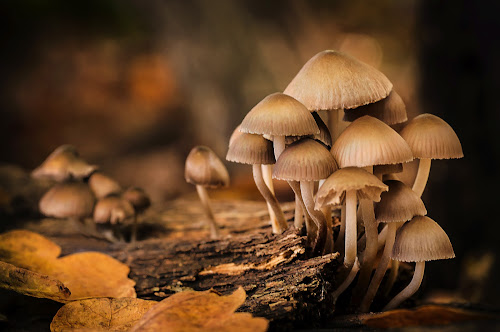Fungi at Sunset by Mark Shoesmith - Nature Up Close Mushrooms & Fungi ( macro, stump, fungi, nature, woodland, leaves,  )