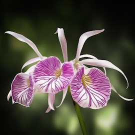 Three Lealia Orchids by Joseph Vittek - Digital Art Things ( magenta, orchid, white, lealia, flower )