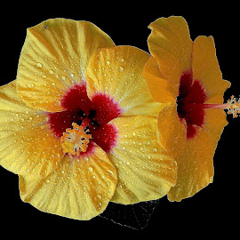 YELLOW HIBISCUS- A PAIR by Subhra Sen - Flowers Single Flower ( coolpix p530, hibiscus, a pair, my garden, yellow, nikon, close up )