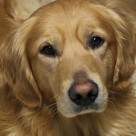 Golden Boy by Patricia Phillips - Animals - Dogs Portraits ( dogs retrievers golden's )