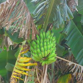 Banana Tree by Dennis Begnoche - Nature Up Close Gardens & Produce ( banana, gardens & produce, nature close up, banana tree, photography )